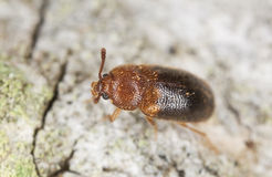 Hairy fungus beetle, Triphyllus bicolor Royalty Free Stock Photography