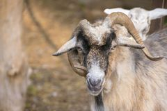 Hairy goat portrait with curly horns in the zoo, mammal animals stock photography