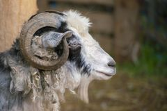 hairy goat portrait with curly horns in the zoo, mammal animals royalty free stock images