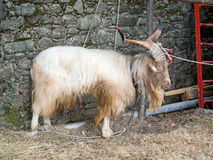 Hairy goat Stock Photo