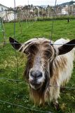 Hairy goat. Very unique goat, hairy and expressive. Very friendly Stock Images