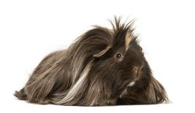 Hairy Guinea pig lying. In front of a white background Royalty Free Stock Photography