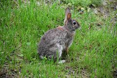 Hairy Hare wondering around the Yard. This wild bunny rabbit came close enough to let us know that he was there, then ran off in the grass. He loves running royalty free stock photos
