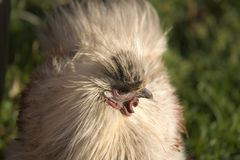 Hairy hen. Portrait of a hairy hen with the grass background Stock Photos