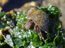 Hairy Hermit Crab - Pagurus hirsutiusculus Stock Photos