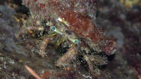 Hairy hermit crab Pagurus hirtimanus in coral of Red sea Sudan Shaab Rumi. Night dive stock video