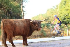 Hairy highland cow and bicycle rider Stock Images