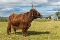 Hairy Highland Cow Stock Photos