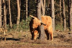 Hairy highland cow scratching his neck royalty free stock photo