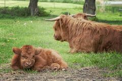 Hairy Highland Cows and Calf. Hairy highland cows and a calf situated in a grazing pasture on a farm Stock Photography