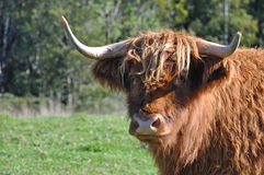 Hairy highlander Royalty Free Stock Photography
