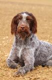 Hairy hunting dog czech pointer Stock Photography