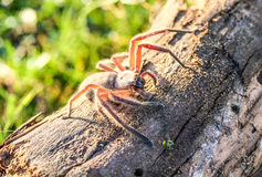 Hairy huntsman wood spider Royalty Free Stock Photography