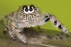 Hairy Jumping Spider Royalty Free Stock Photos