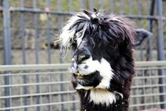 Hairy lama at the zoo. A picture of a Hairy lama at the central park zoo royalty free stock photography
