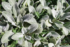 Hairy Leaves. This is a close up shot of hairy leaves Stachys lanata like nice nature background Royalty Free Stock Image