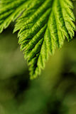 Hairy leaves Royalty Free Stock Photography