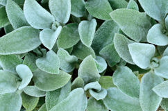 Hairy leaves. Of garden plants Stock Image