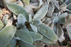 Stachys byzantina leaves close up stock photo