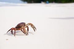 Hairy leg mountain crab. On the beach at similan island Royalty Free Stock Image