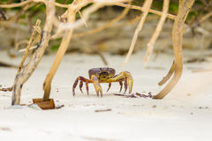 Hairy leg mountain crab Royalty Free Stock Photos