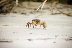 Hairy leg mountain crab Stock Image