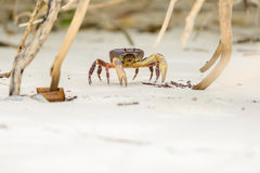 Hairy leg mountain crab Royalty Free Stock Images