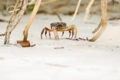 Hairy leg mountain crab Royalty Free Stock Images