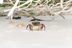 Hairy leg mountain crab Stock Images
