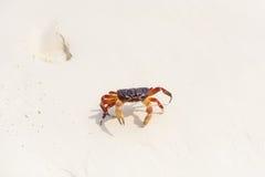 Hairy leg mountain crab Stock Images