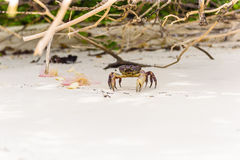 Hairy leg mountain crab Royalty Free Stock Image