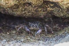 Hairy leg mountain crab Royalty Free Stock Photo