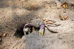 Hairy leg mountain crab Royalty Free Stock Image