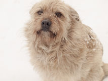 Hairy little dog Royalty Free Stock Image