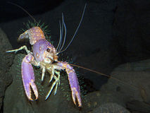 Hairy Lobster stock photography