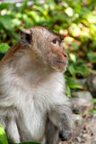Hairy monkey Royalty Free Stock Photos