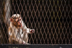 Hairy monkey licking the wired cage Stock Image