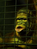 Hairy monkey in low light zoo inside a metal cage try to express and communicate Royalty Free Stock Photo