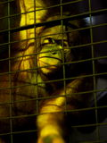 Hairy monkey in low light zoo inside a metal cage try to express and communicate Stock Image