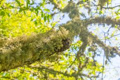 Hairy moss or lichen growing underneath a tree branch royalty free stock photo