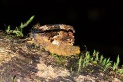 Hairy moth Masoala Royalty Free Stock Image