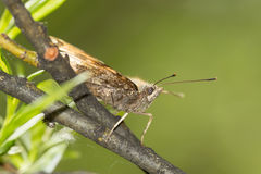 Hairy moth in profile Royalty Free Stock Photo