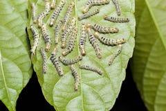 Hairy moth Selepa celtis on leaf Stock Photo