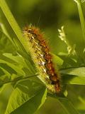 Hairy motley caterpillar Royalty Free Stock Photo