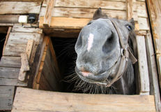 Hairy muzzle of a horse looking at the camera. Russia Stock Image