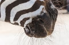 Hairy muzzle of Zebra. African wild horse with black-and-white stripes and an erect mane Stock Image