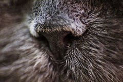 Hairy nose Royalty Free Stock Images