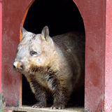 Hairy Nosed Wombat Royalty Free Stock Photo