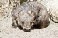 Hairy nosed wombat Stock Photos