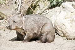 Hairy nosed wombat Royalty Free Stock Photos